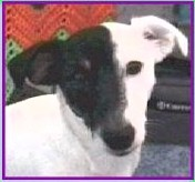 Pogo is a Smooth Coat Jack Russell Terrier.
